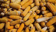 فوائد الذرة الصفراء .. أهم الفوائد الصحية للذرة الصفراء والمشوية